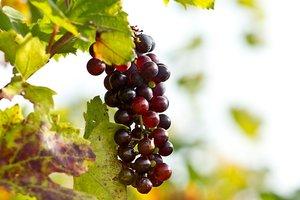 Фестиваль вина стартовал на Закарпатье