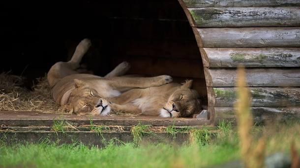 В шведском зоопарке признались в убийстве девяти львят