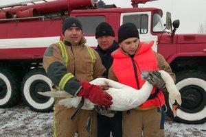 Под Киевом спасли лебедя с поврежденным крылом