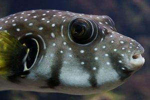 В японском городе объявили тревогу из-за продажи ядовитой рыбы фугу
