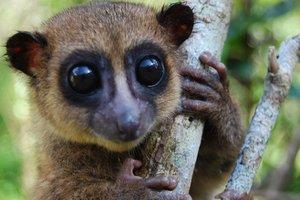 Ученые обнаружили на Мадагаскаре новый вид лемуров
