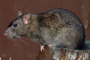 В центре Кривого Рога поселились стаи крыс