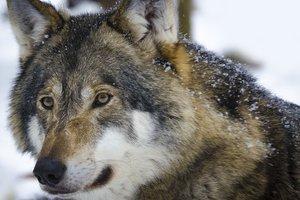 Бешеный волк напал на женщину в Ровенской области