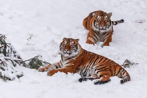 As in Volhynia winter tigers