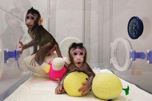 В Китае впервые смогли клонировать обезьян