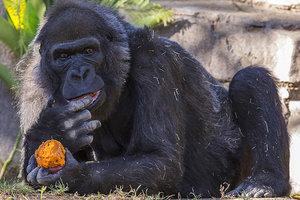 В зоопарке в США умерла одна из старейших в мире горилл