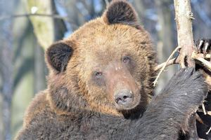 In the Carpathian brown bears forgot about hibernation