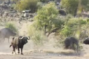 В сети показали видео, как буйволы отбивают слоненка у львиной стаи