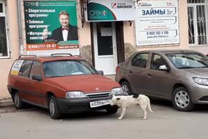 Видеохит: в Крыму собака ворует автомобильные номера