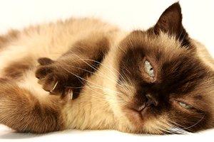 Драка двух ленивых и толстых котов попала на видео