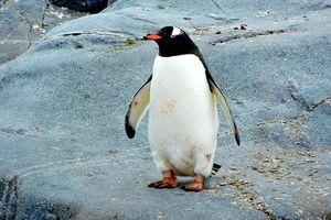 В День влюбленных пингвинам раздавали сердечки