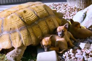 Видеохит: большая черепаха усыновила щенков
