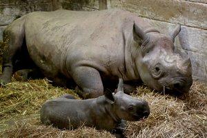 Родился носорог исчезающего вида: первые фото и видео