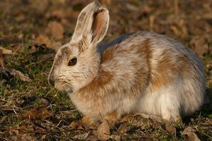 Why rabbits in the winter is no longer white