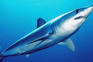 In Belarus found a new species of fossil sharks