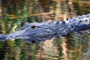 The crocodiles almost ate the thief escaping from the police