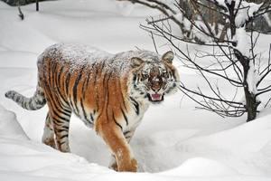 Как тигры радуются снегу в столичном зоопарке