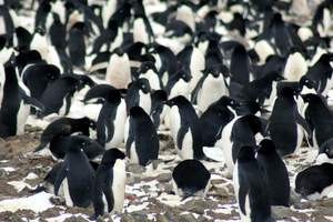 In Antarctica discovered a Horde of penguins