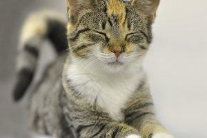 Ученые объяснили, зачем на самом деле коты мнут лапками человека