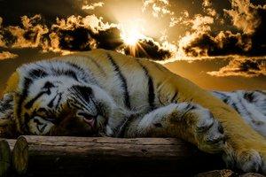 Тигра-оборотня нашли аборигены Индонезии
