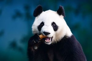 China will build a giant nature reserve for pandas