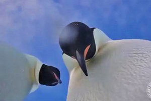 Funny video: penguins in Antarctica found the camera and took a selfie