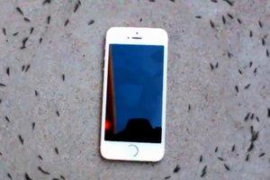 Очень странная реакция муравьев на рингтон iPhone: невероятное видео
