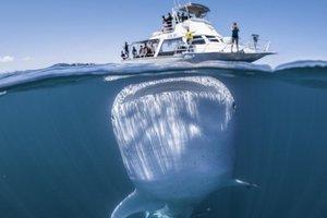Гигантская акула чуть не проглотила катер с туристами: невероятные фото