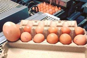 "Курица снесла огромное яйцо с ""сюрпризом"" внутри"