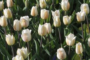 В Киеве готовят новую выставку тюльпанов
