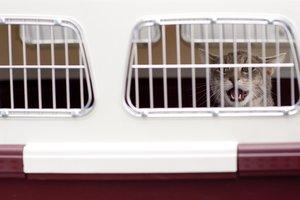 Животное нужно помещать в специальный контейнер для перевозки. Фото: pixabay