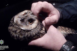 В Днепре патрульные спасли болотную сову, которую сбила машина