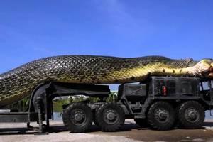 В результате потепления змеи станут размером с автобус