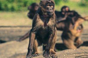Обезьяна оголила грудь посетительницы зоопарка: забавное видео
