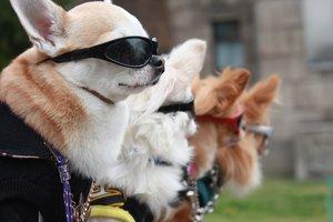 Высокая мода для собак: как в Милане создают одежду для четвероногих
