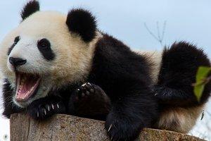 Панды могут нейтрализовать смертельный цианид - ученые