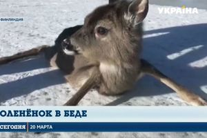 Финские пограничники сняли на видео спасение олененка на заледеневшем озере