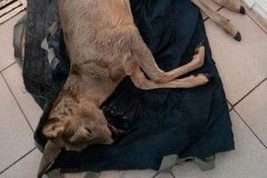 В Броварах спасатели помогли раненой косуле
