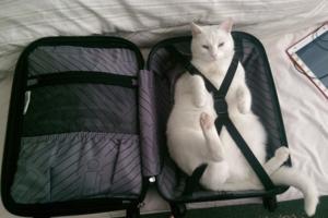 Пользователи сети выяснили, почему коты так любят чемоданы