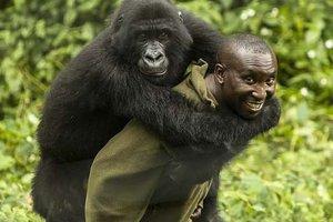 Мир покорила дружба смотрителя заповедника и горилл: интересные фото