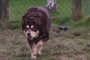 Откормленную бургерами собаку перепутали со свиньей