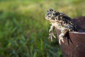 Найдена жаба, которая сражается усами