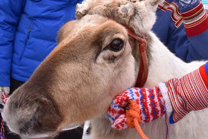 """Знаменитому лыжнику Клебо подарили оленя по имени """"Король Клебо"""""""