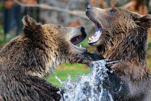 Огромный медведь наказал надоедливого папарацци: уникальные кадры