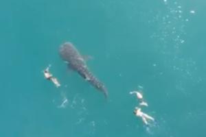 Самая большая акула в мире купалась вместе с людьми
