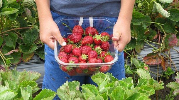В Украине собрали первый урожай клубники: цены достигают 300 гривен