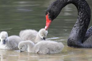 Пополнение в Киевском зоопарке: у пары черных лебедей появились птенцы