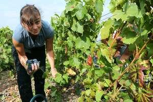 В Украине заработал закон, облегчающий жизнь виноделам