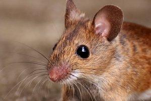 Мышам пересадили крохотный человеческий мозг