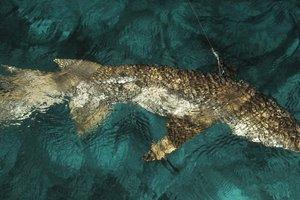 Найдена акула-переросток невероятных размеров: невероятное видео